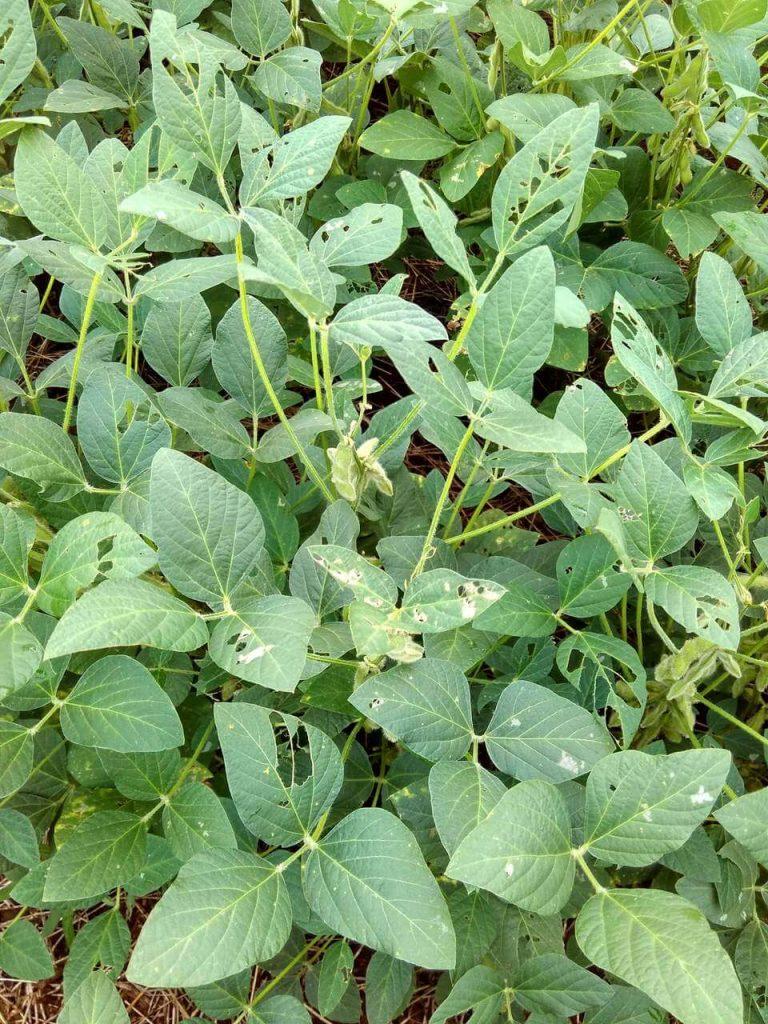 Plantas prejudicadas por falta de controle fitossanitário