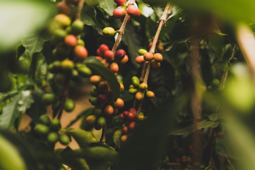 Grãos de café maduros