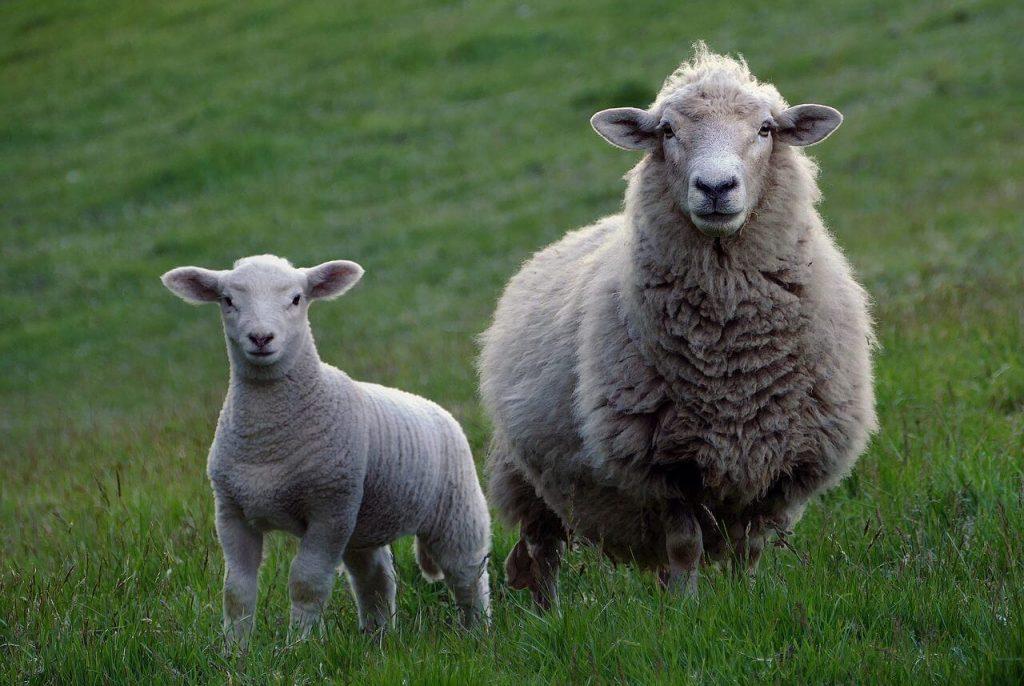 Foto de ovelhas no pasto