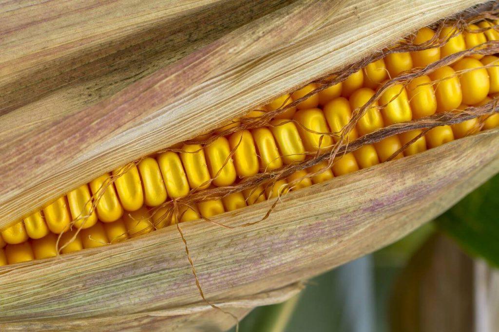 Foto de espiga de milho