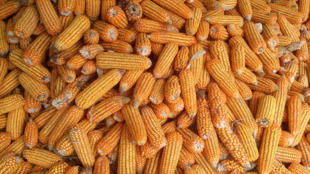 Foto de espigas de milho colhidas