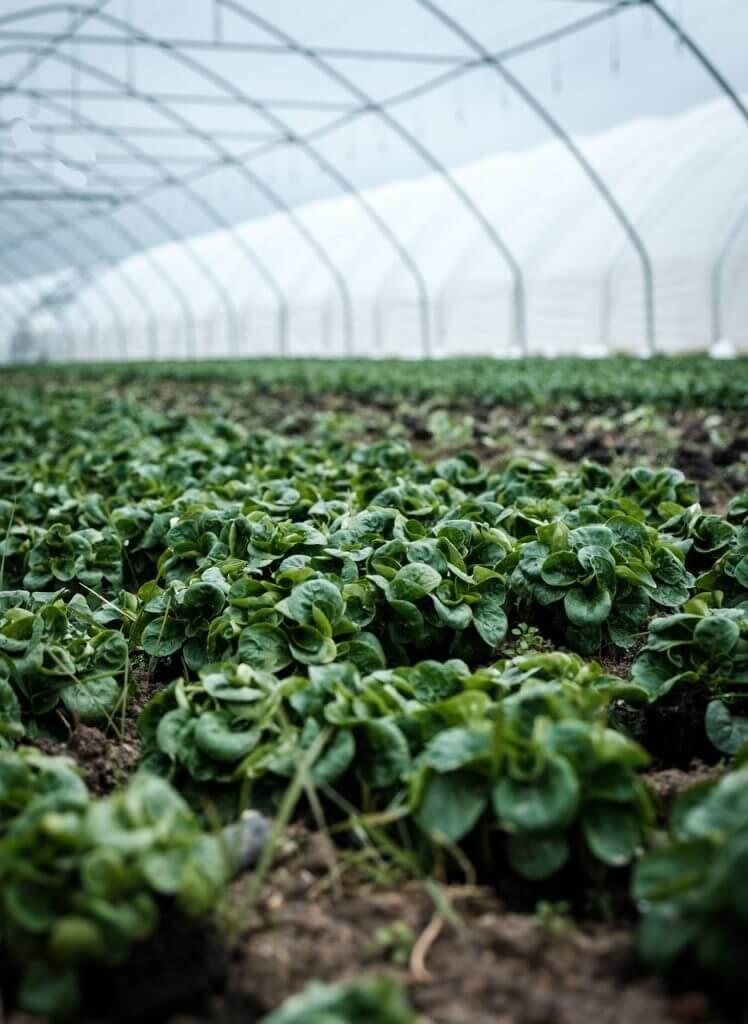 Foto de um cultivo em estufa