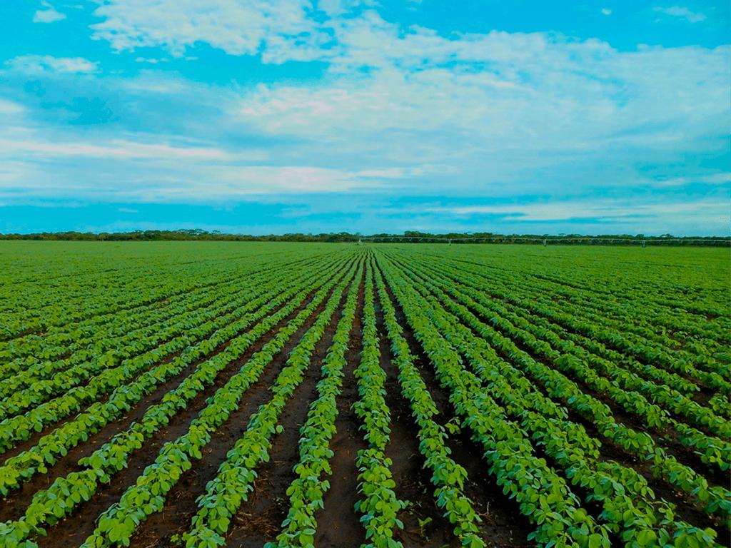 Cultivares de soja tolerantes à seca