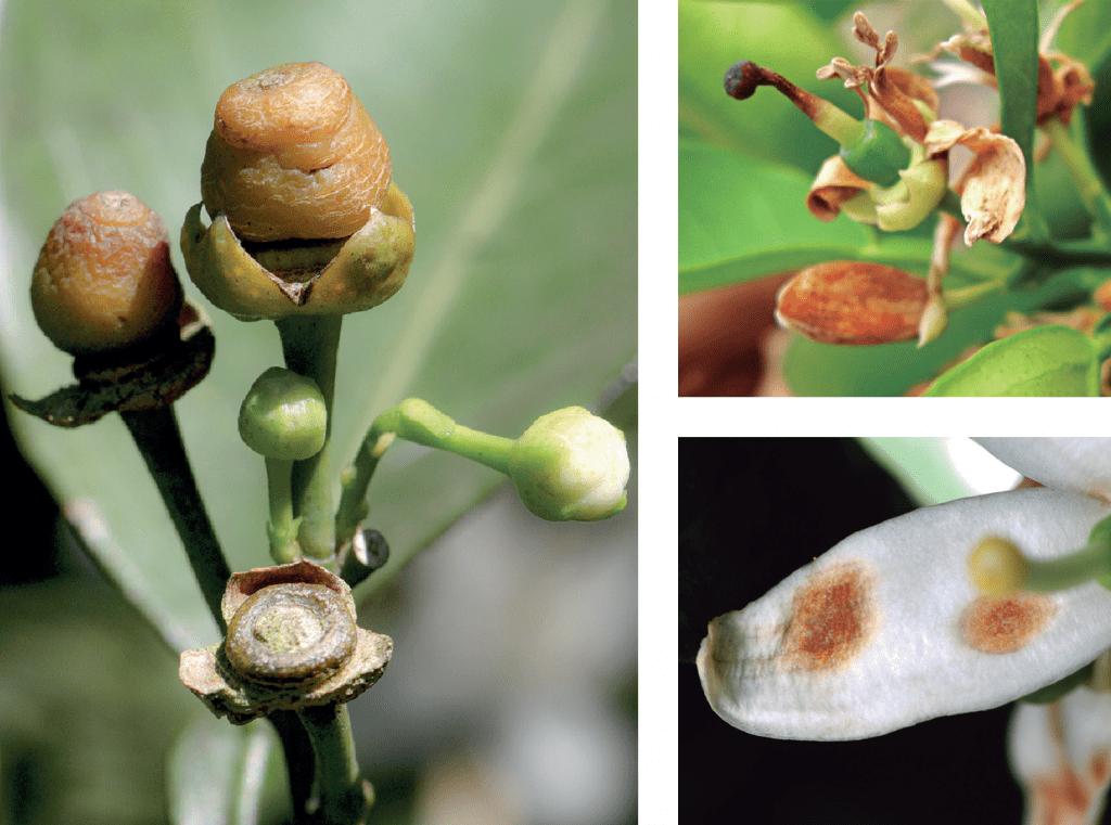 principais doenças da citricultura