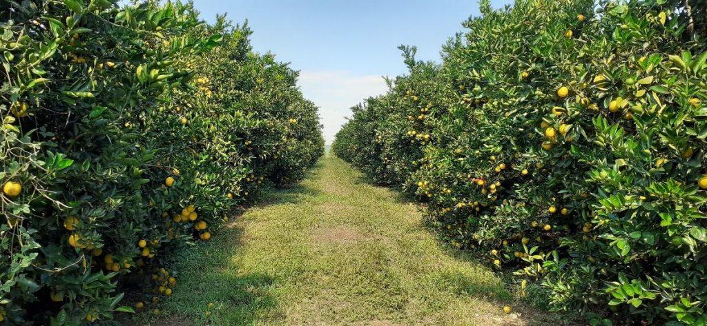 impacto do clima na citricultura