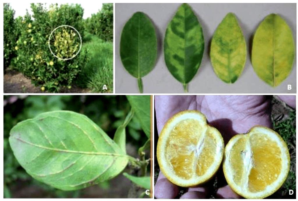 principais doenças da citricultura na laranja