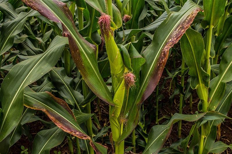 Imagem de plantas de milho contaminadas pelo enfezamento vermelho