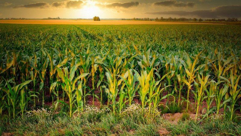 Imagem de uma plantação de milho