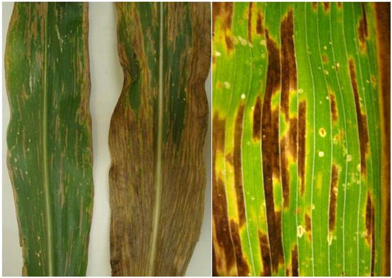 Imagem comparativa de três folhas de milho com diferentes estágios de lesões