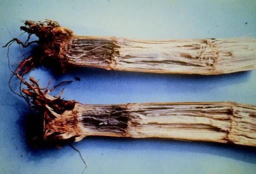 Imagem da planta do milho sob os sintomas da Fusariose