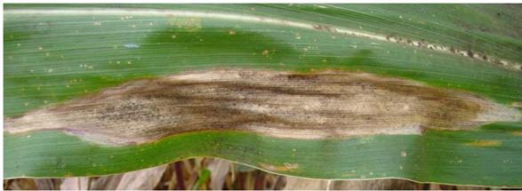Imagem de uma folha de milho sob o efeito de coalescimento