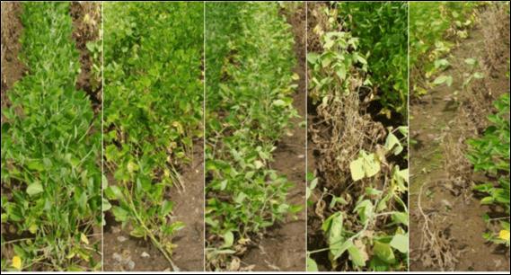 Plantas de soja em diferentes estádios vegetativos sob sintomas de excesso hídrico