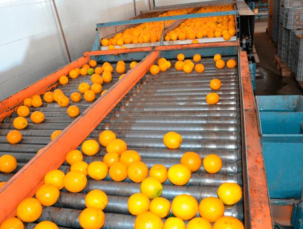 Citros rolando sobre uma esteira de seleção dos frutos